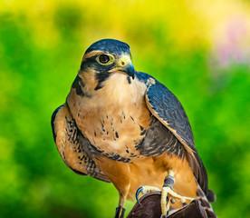Peregine Falcon Falco Peregrinus