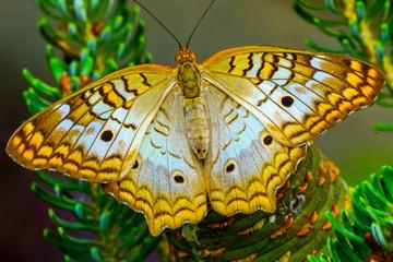 Whtie Peacock Butterfly Pink Flowers Seattle Washington