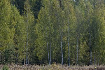 Natural landscape - birches in a sunlight