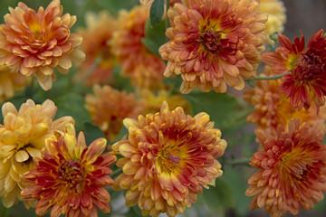 FLOWERS - Korean chrysanthemum