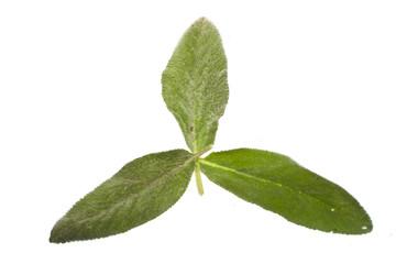 plant leaf isolated on white background