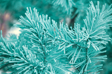 The pine branches are covered with hoarfrost. Natural winter background. Winter nature. Snowy forest. Christmas background. Green colored