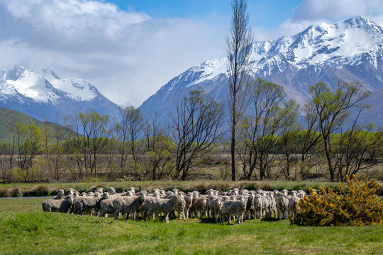 A flock of merino sheep in a field in the beautiful high country of New Zealand