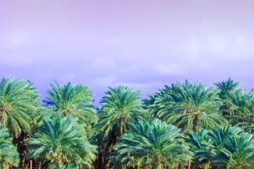 Tropical evening landscape. Grove of the palm trees against the sunset sky. Beautiful nature. Plantation of date palms
