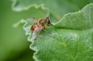 Bee is on the green leaf.