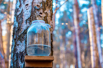 Production of birch sap in the glass jar in the forest. Springtime