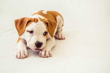 Funny cute puppy American Staffordshire Terrier on white background, close-up