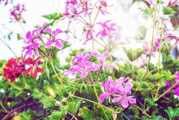 Purple and red Pelargonium flowers