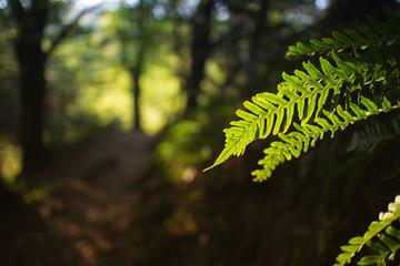 Farn im Gegenlicht im Wald