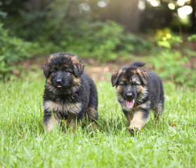 Puppies running on grass
