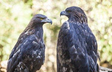 Couple of Iberian Golden eagles or Aquila chrysaetos, Caceres, Spain