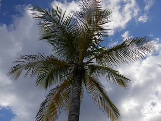 Top part of a coconut tree against blue and white clouds in a afternoon sky in a tropical island