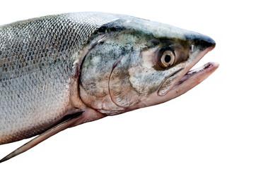 fresh red fish salmon on white background