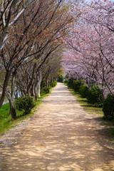 桜の咲く道