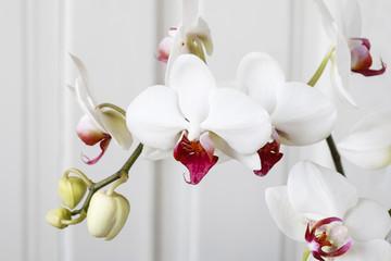 Papiers peints Orchidée White orchid flowers.