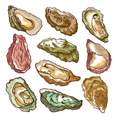 Fresh oyster hand drawn set on white
