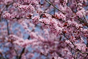 prächtig blühende japanische Kirsche