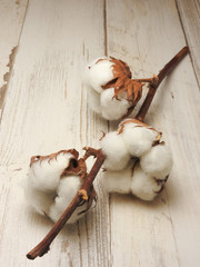 Dried beautiful white fluffy cotton on white wood background with copy space.Cotton is a soft fibrous substance of  a tropical plant and is used as textile fiber,thread for sewing and making cloth.
