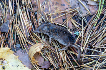 A dead mouse in the forest. Rodent on the forest path.