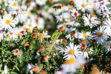 mantis hunt in white flowers on a flying bee
