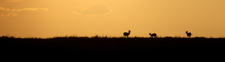 Fototapeta Three gazelle silhouetted against a golden sunset