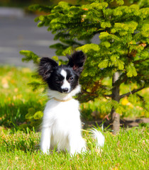 Cute white and black dog posing on the green grass near the young spruce. A small puppy sits with raised ears on the street. The concept postcards with animals. The continental toy Spaniel. Papillon.