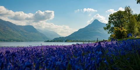 Bluebells in brilliant violet display in mountainous region of Scotland