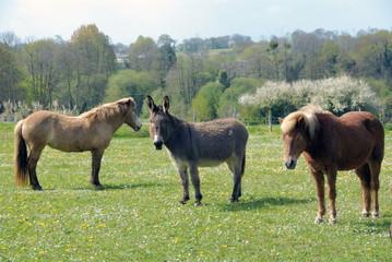 Ane du Poitou et deux poneys dans un champ, France