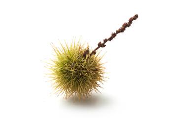 closeup of chestnut fruit on white background