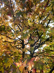 Wall Mural - close up background of a fall foliage maple tree in the evening sun