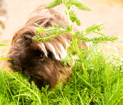 Cheerful long haired guinea pig eating in the grass