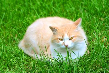 Cute furry cat on a green grass