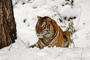 Wall Mural - Tiger in Snow