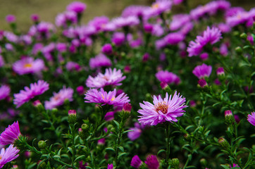 American Aster- herbstastern. small violet autumn flowers
