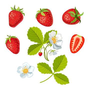 Strawberry with leaves and flowers. Vector illustration