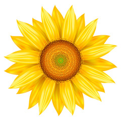 Vector illustration of sunflower. Isolated colored icon sunflower, realistic illustration.