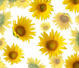 Sunflowers isolated on white background. Floral pattern.