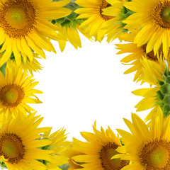 Sunflowers isolated on white background. Floral border.