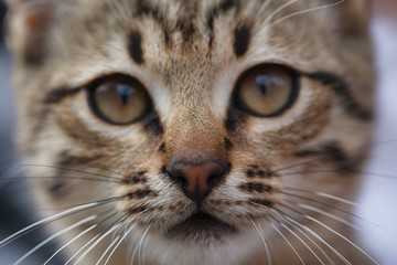 Sad face of a little gray kitten close up