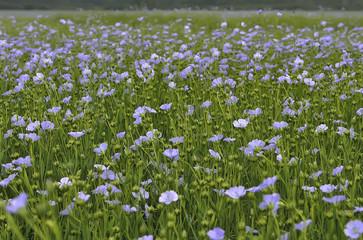 Flowering flax ( Linum perenne )