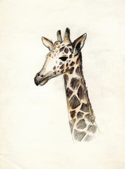 The head of a giraffe on a light background. Drawing colored pencils