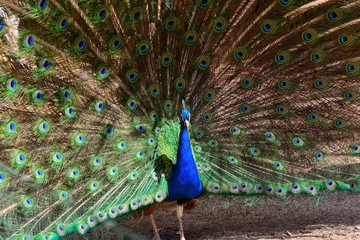 Indian peacock (pavo cristatus) fanning out it's tail feathers