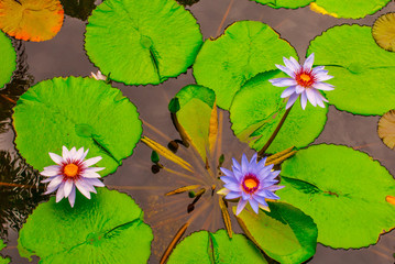 lush green lillies float peacefully on the surface of a pond. The flowering water dwelling plants are at home in this tropical botanical garden