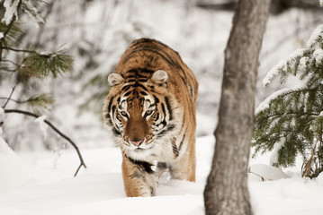 Wall Mural - Prowling Tiger in Winter