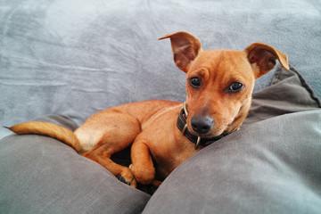 Miniature Pinscher dog over gray sofa