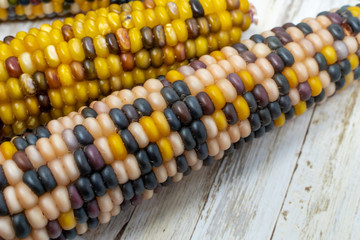 Indian corn husks and kernals. Colorful vegetable, useful for fall harvest concepts