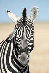 Vertical portrait of a zebra.