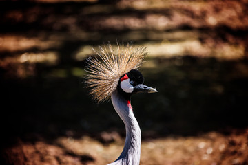 Mature Grey Crested Crane