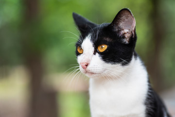 Portrait of white mixed with black cat (bicolor cat) looking for something