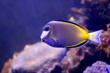 Fish : Powder brown tang (Acanthurus japonicus)